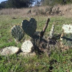 Texas Prickly Pear (Opuntia engelmannii var. lindheimeri)